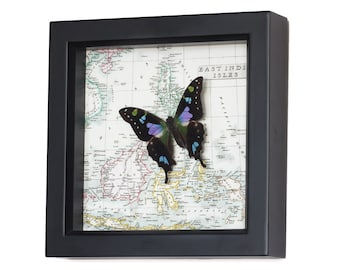 Framed Map of East Indies with Real Butterfly Display