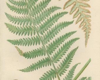 Common Bracken Fern, Common Brake, Rockbrake, Antique Botanical Fern 9, 1866, British Natural History, Country Cottage Decor, Library Decor