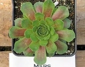 Mars Sempervivum Plant, Hens and Chicks, Extremely Cold Hardy Succulent