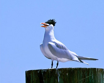 Funny Bird- fine art print, greater crested tern photo, sea bird photo, swift photo, tern photo, wall art, home decor, beach cottage decor