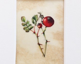 Original Botanical Watercolor on Vellum of Rosa