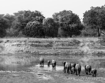 African Elephant Herd Heading Home 8x10 or 8x12 photograph,black and white, wildlife photography, wall art
