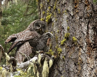 Great Grey Owl Photograph, baby owl art print, Owl Photography