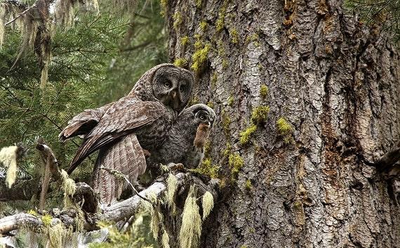 Great Grey Owl Photograph, baby owl art print, Owl Photography