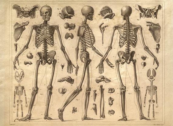skeleton anatomy diagram human body vintage print, Skeleton