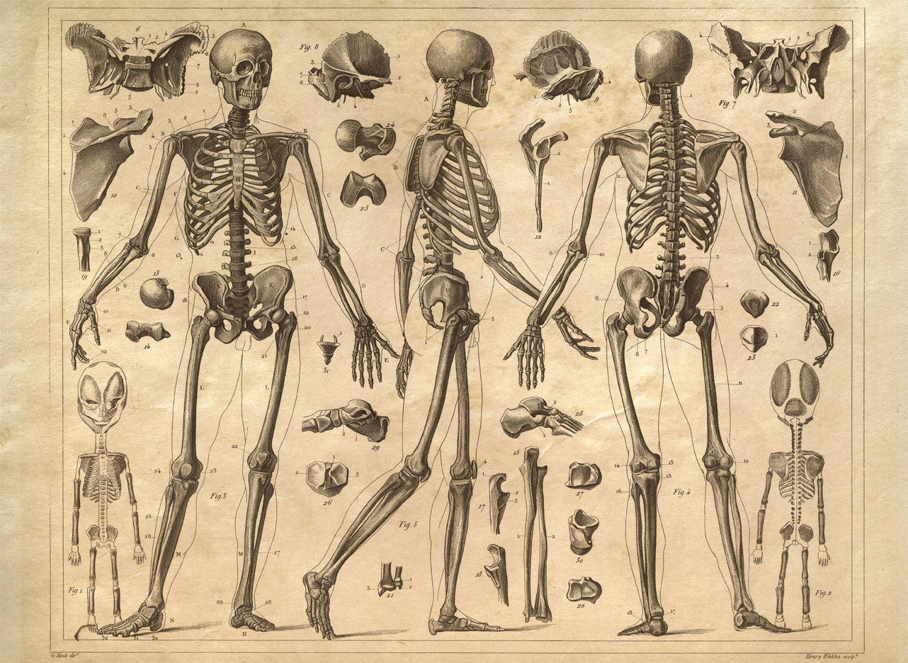 skeleton anatomy diagram human body vintage print reproduction doctor office educational chart biology science anatomy office