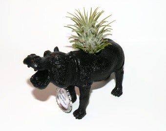 Air plant in black hippo animal planter with personalized message.