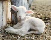 buttercup - baby lamb photography - farm fresh art and cards