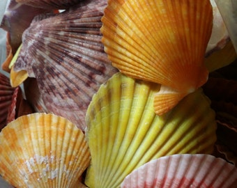 OVERSTOCK SALE- Lot of 50 Tropical Scallop Pectin Nobilis Shells for Coastal Decorating/ Arts/ Crafts/ Loose Seashell Supplies