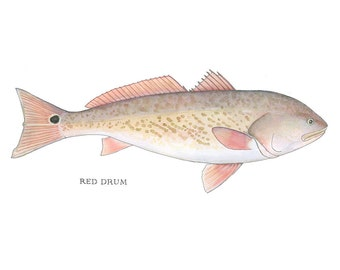 Watercolor Nature Illustration, Red Drum Fish, Art Print