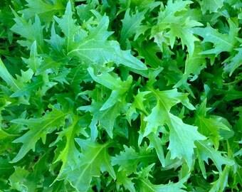 Mizuna Mustard Greens Heirloom Rare Grown to Organic Standards Cool Season Seeds