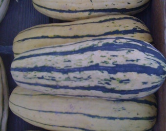 Delicata Squash Zeppelin Strain Winter Type Rare Heirloom Excellent Unsurpassed Sweet Flavor Rare Seeds
