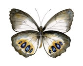 95 Palmfly Butterfly, Original or Giclee Print - Watercolor Painting, Wall Art, Wall Decor, Gifts under 15, Fine Art, 0405