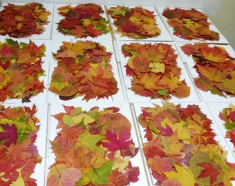 250 Pressed autumn leaves, real autumn leaves, dried autumn leaves, fall leaves, pressed maples, wedding, thanksgiving table leaves, A100