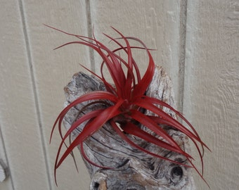 Tillandsia Red Abdita