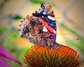 Red Admiral Butterfly On Purple Cone Flower, Digital Photo/print  many copies