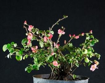 Japanese Flowering Quince Pink Lady Pre-Bonsai Tree - Chaenomies # 8319_1