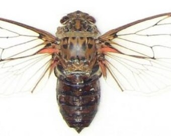 "6.5+"" Real Cicada butterfly Pomponia Intermedia spread dried insect and wings bug taxidermy"