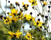 Tall Coreopsis Yellow Coreopisis tripteris Native Plant Seeds Fresh 2015 Crop