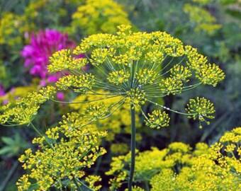 Dill Seeds - Fernleaf -- Medicinal Herb