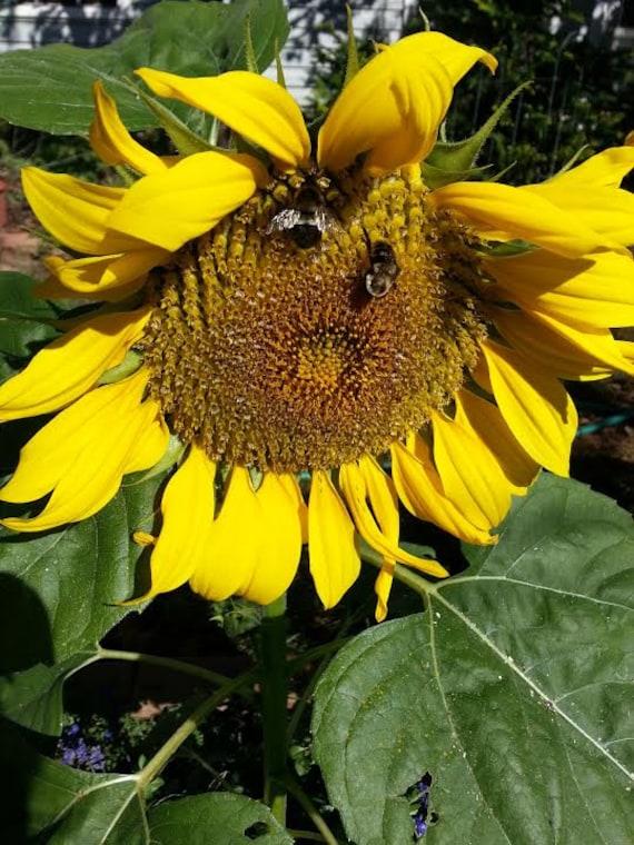 Sunflower Seeds - Yellow Pygmy  - Helianthus Annuus