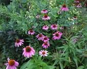 Purple Coneflower/Echinacea