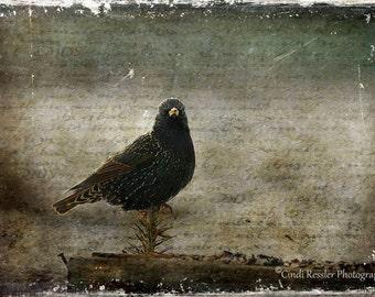 European Starling, Photography, Bird Photography, Nature Photography, Ornithology