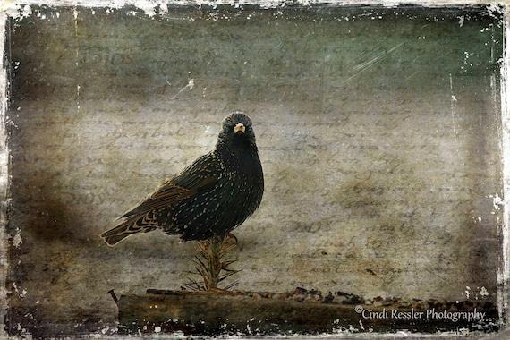 European Starling, Birds, Bird, Photography, Photo, Bird Lover Gift, Nature Lover, Fine Art, Garden, Housewarming Gift, Wall Art, Home Decor
