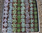 """185 ROSETTE Only Wedding Succulent collection potted in 2"""" containers collection of Beautiful WEDDING FAVOR Succulents Gifts~"""