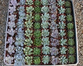 "45 ROSETTE Only Wedding Succulent collection potted in 2"" containers collection of Beautiful WEDDING FAVOR Succulents Gifts~"