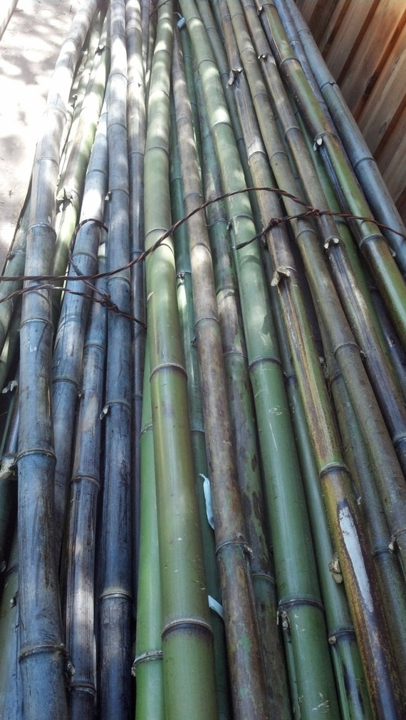 Black Bamboo Poles ~ Items similar to bamboo poles black and moso inch