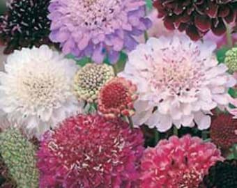 Heirloom Scabiosa Tall Double Flowered Mix Seeds, Flower Garden, 20 Seeds