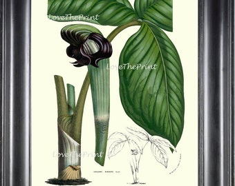 BOTANICAL PRINT HOUTTE  Art Print 55 Beautiful Cobra Lily Arisaema Ringens Green Flower Leaf Spring Summer Plant Picture Illustration
