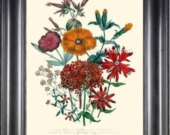 BOTANICAL PRINT Loudon Flower  Art 22 Beautiful Lychnis Orange Sherbet Spring Summer Garden Gift Home Room Decor Antique Illustration