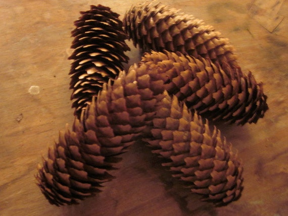 7 long pine cones perfect for christmas fall by for Long pine cones
