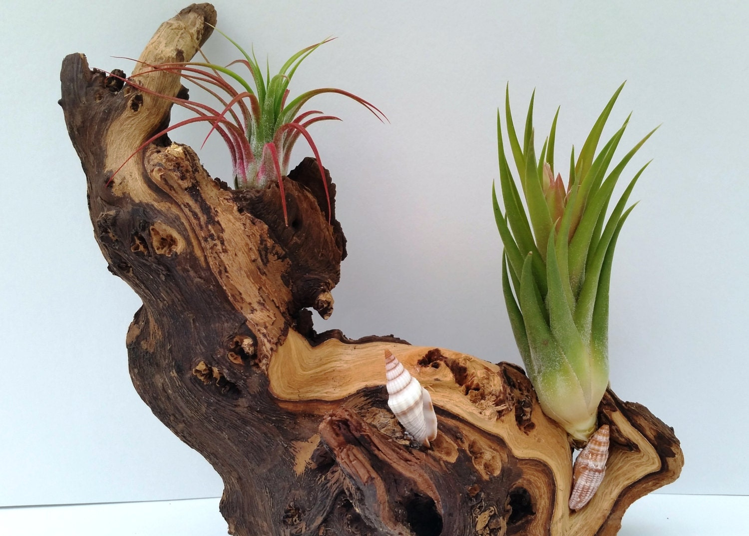 African Mopani Wood Air Plant Design. 30 Day by AirPlantStudio