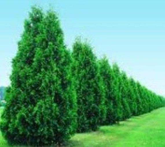 Green giant arborvitae tree thuja plicata by Green giant arborvitae