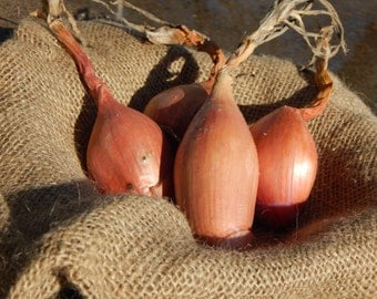 Organic Heirloom Zebrune Shallot Seeds