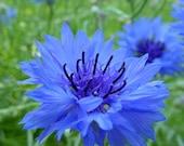 75 - Bachelor Button or Cornflower Seeds  Dwarf Blue Heirloom Bachelor Buttons, Non-GMO Bachelor Buttons, Heirloom Cornflowers, Blue Flowers