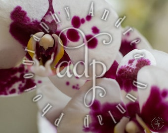 8x10 Orchid Photograph