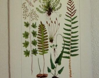 Ferns Botanical Bookplate from the 1905 International Encyclopaedia