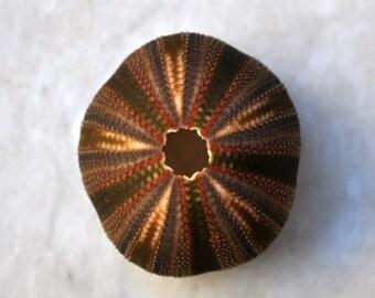"Black Tuxedo Urchin (.5"") - Tripneustes Gratilla"
