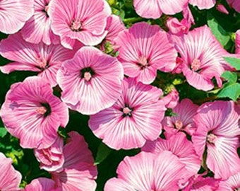 Rose Mallow Seeds- Various colors- 50 Seeds each packet