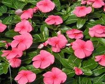 Vinca- Periwinkle- various colors- 50 Seeds