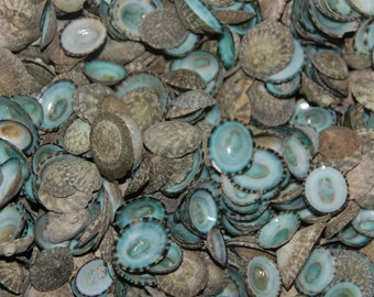 10 Quality Green Limpet shells---Crafting Seashells