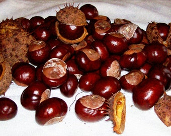 SEEDS, 30 + Horse Chestnuts Fresh Picked, Aesculus hippocastanum - Buckeye Family