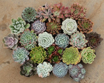 """20 GORGEOUS ROSETTE Only Succulents in their 2.5"""" round containers Ideal for Wedding FAVORS party gifts Echeverias+"""