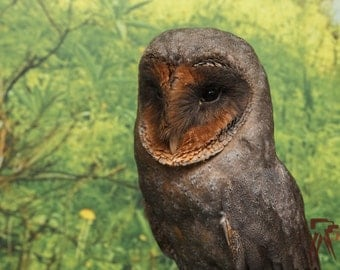 Pepsi, The Black Barn Owl