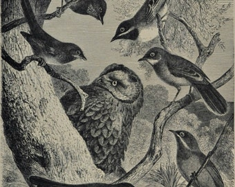 Warblers print. Birds. Natural history engraving. Antique illustration 124 years old. 1890 lithograph. 9 x 12'3 inches.