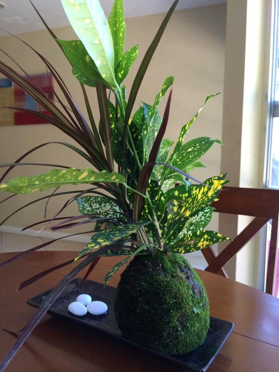 Dracaena marginata with croton kokedama bring tranquility for Easy to keep garden plants
